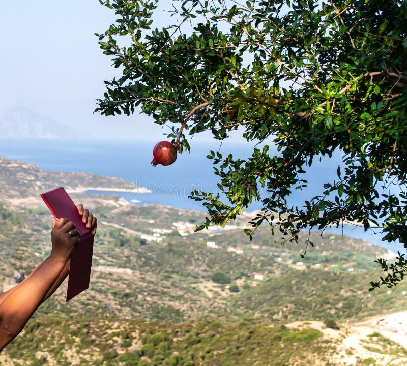 Las manos de la mujer con la tableta roja intentan tomar una foto de la sola fruta roja del granate en el ?rbol, con la opini?n q imagen de archivo