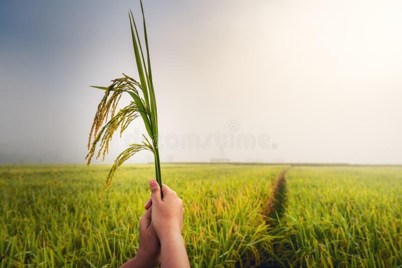 Las manos de la mujer del primer están sosteniendo el arroz del paquete en los campos del arroz en la escena de la salida del sol imagen de archivo