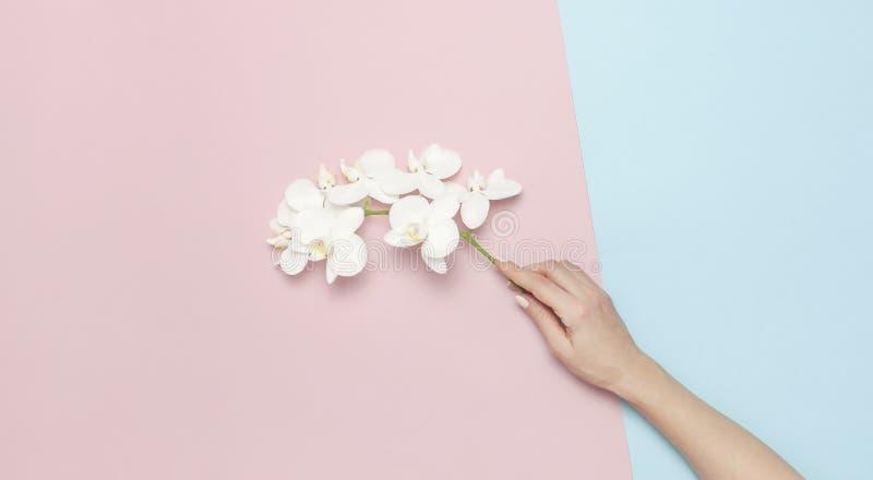 Las manos de la mujer llevan a cabo la rama de las flores blancas hermosas de la orqu?dea del Phalaenopsis en endecha plana azul  imagen de archivo