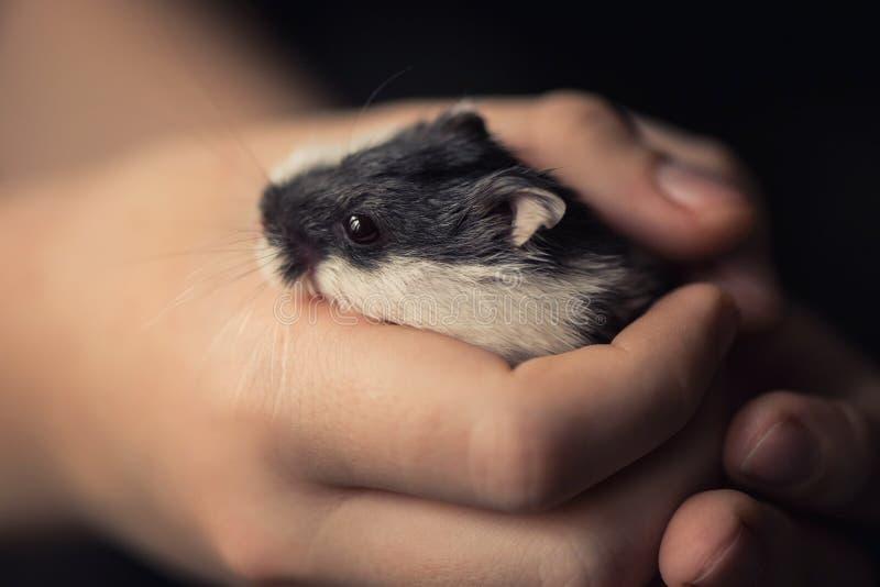 Las manos de los controles del niño pequeño del hámster lindo del animal doméstico foto de archivo