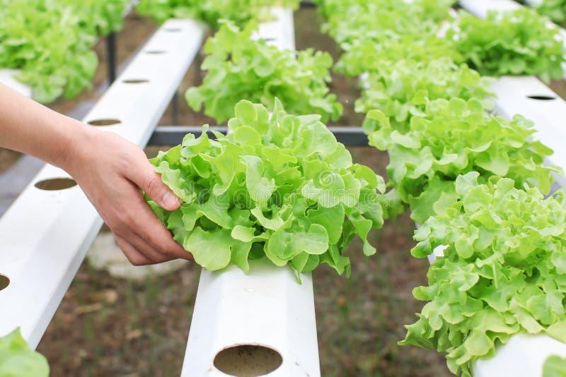 Las manos de los granjeros que sostienen verduras frescas ven la raíz en el jardín hidropónico durante la comida matutina Cultivo imagen de archivo