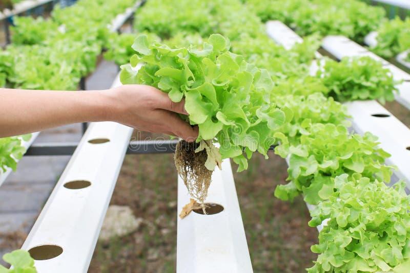 Las manos de los granjeros que sostienen verduras frescas ven la raíz en el jardín hidropónico durante la comida matutina Cultivo imagen de archivo libre de regalías