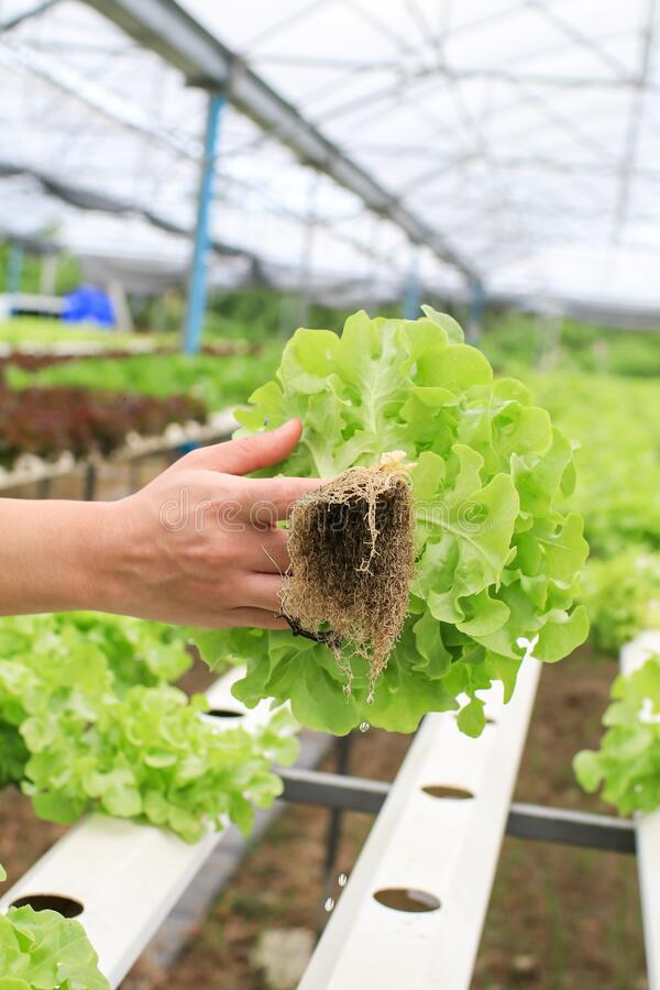 Las manos de los granjeros que sostienen verduras frescas ven la raíz en el jardín hidropónico durante la comida matutina Cultivo imagenes de archivo