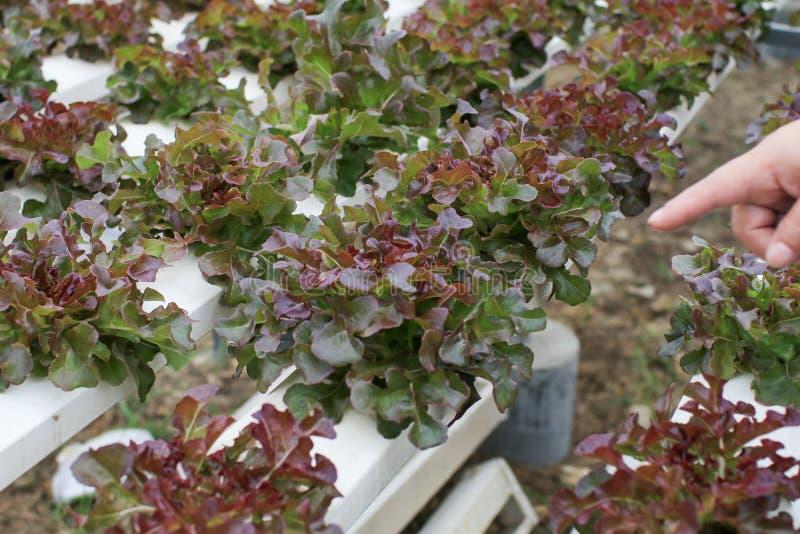 Las manos de los granjeros que sostienen verduras frescas ven la raíz en el jardín hidropónico durante la comida matutina Cultivo fotografía de archivo