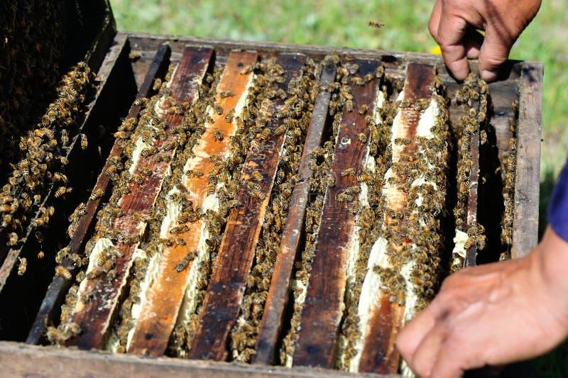 Las manos del apicultor abren la colmena foto de archivo libre de regalías