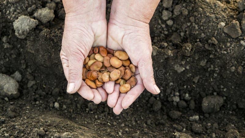 Las manos del granjero sostienen las semillas de la haba sobre tierra arada, alistan para sembrar imagenes de archivo