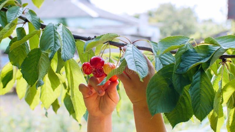 Las manos del niño despluman cerezas de una rama imagen de archivo libre de regalías