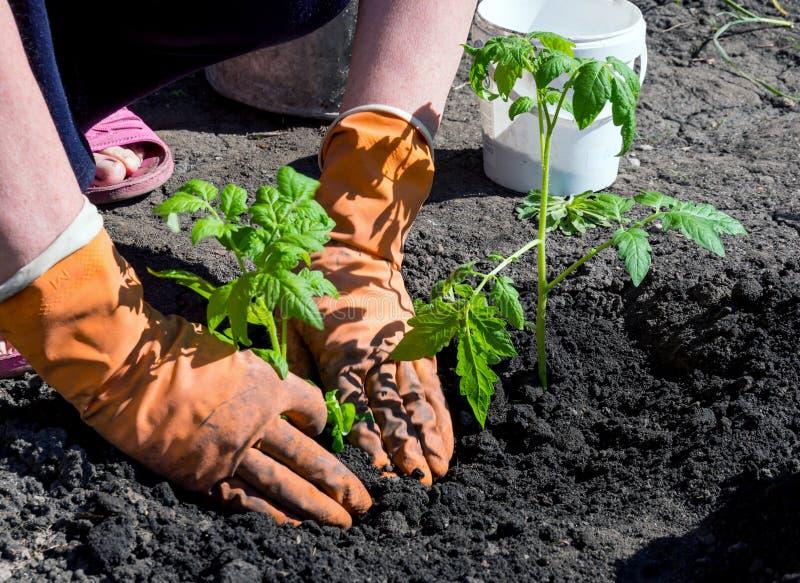 Las manos en guantes condensan la tierra cerca de un tomate plantado del arbusto fotografía de archivo