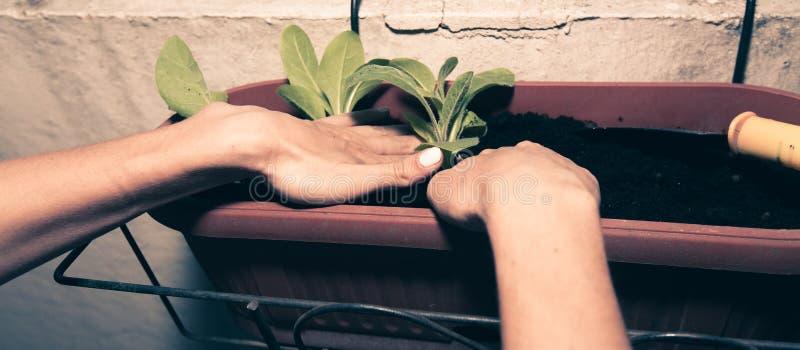 las manos femeninas plantan las flores en el pote con tierra en el balc?n fotografía de archivo libre de regalías