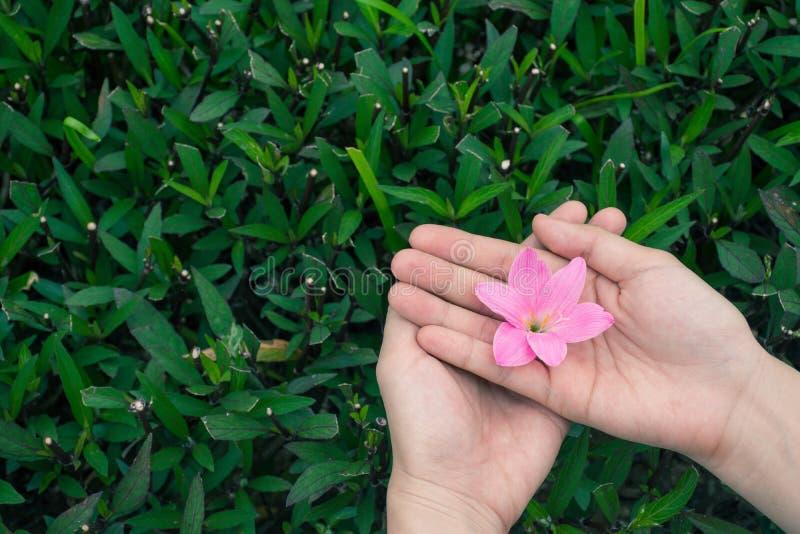 Las manos femeninas que sostienen el lirio rosado de la lluvia florecen con el fondo de las hojas del verde fotografía de archivo