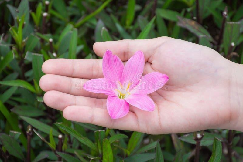 Las manos femeninas que sostienen la flor rosada con verde hojean fondo fotografía de archivo