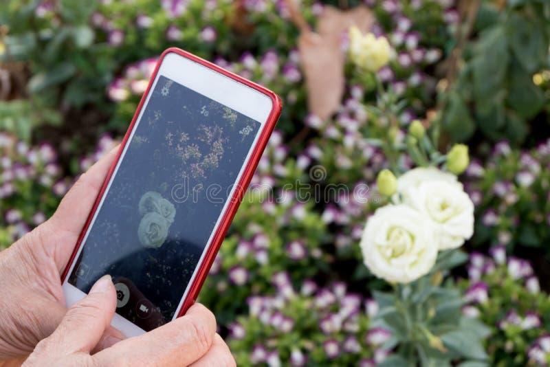 Las manos mayores de la mujer de Asia usando el dispositivo elegante del teléfono toman una foto de la rosa del blanco fotos de archivo libres de regalías