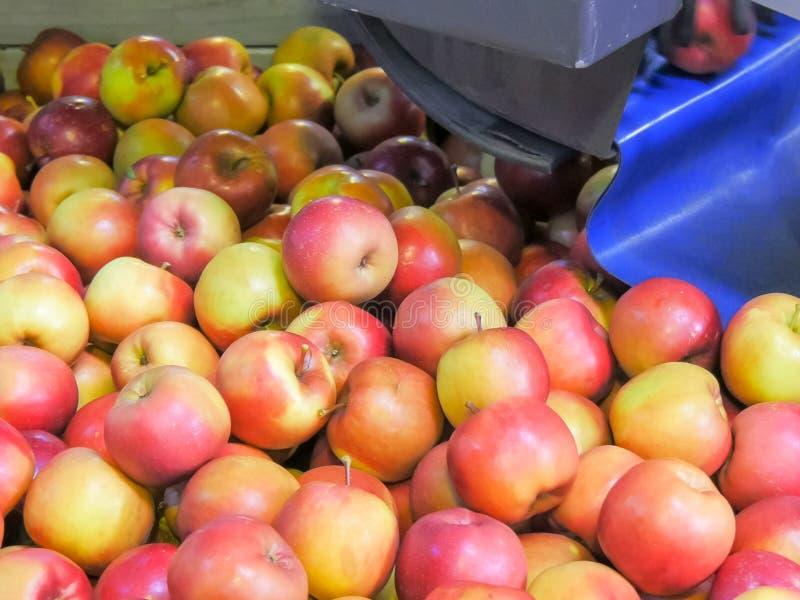Las manzanas caen en un compartimiento giratorio después de ser clasificada por tamaño y antes de la clasificación y el ser embal foto de archivo libre de regalías