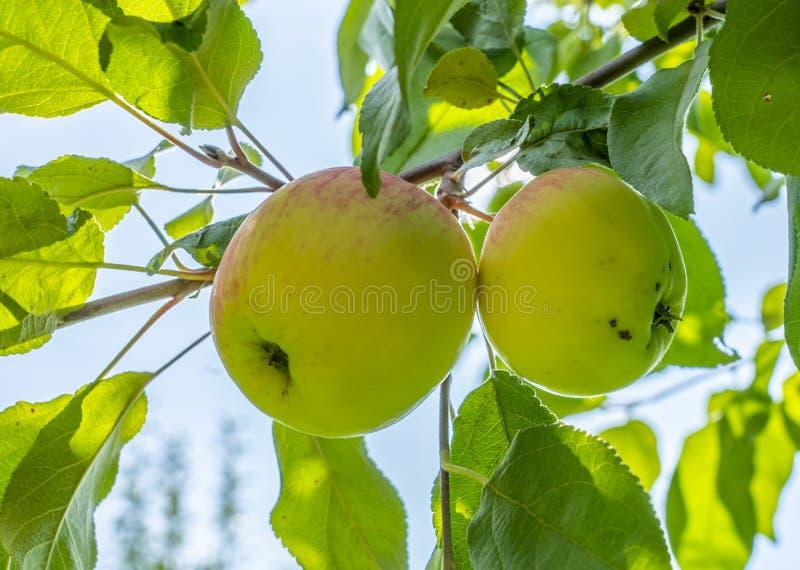 Las manzanas maduras, jugosas que cuelgan en la rama del manzano, el sol miran furtivamente a través de las hojas imagen de archivo libre de regalías