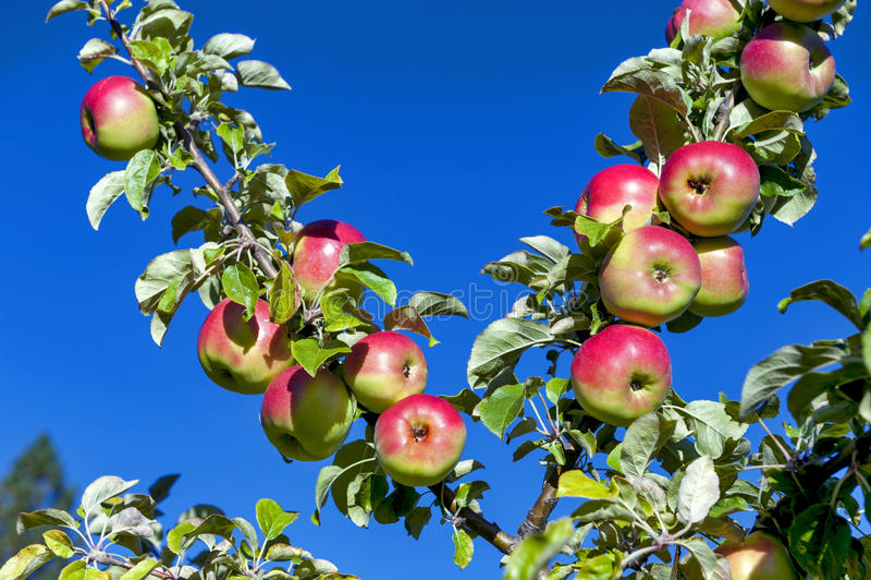 Las manzanas rojas crecen en ramas contra el cielo azul imagenes de archivo
