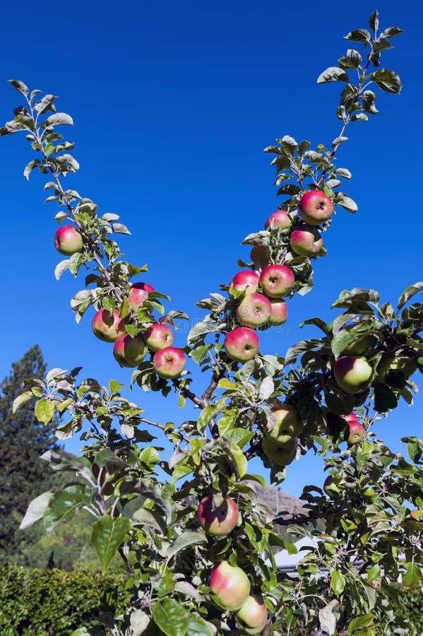 Las manzanas rojas crecen en ramas contra el cielo azul imagen de archivo libre de regalías