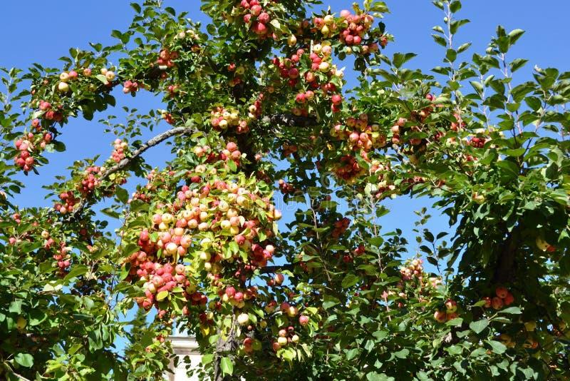 Las manzanas rojas en manzano ramifican, el cultivar un huerto, cosechando fotos de archivo libres de regalías