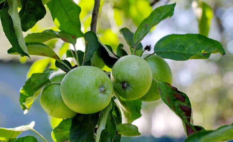 Las manzanas verdes en una rama en verano cultivan un huerto fotografía de archivo libre de regalías