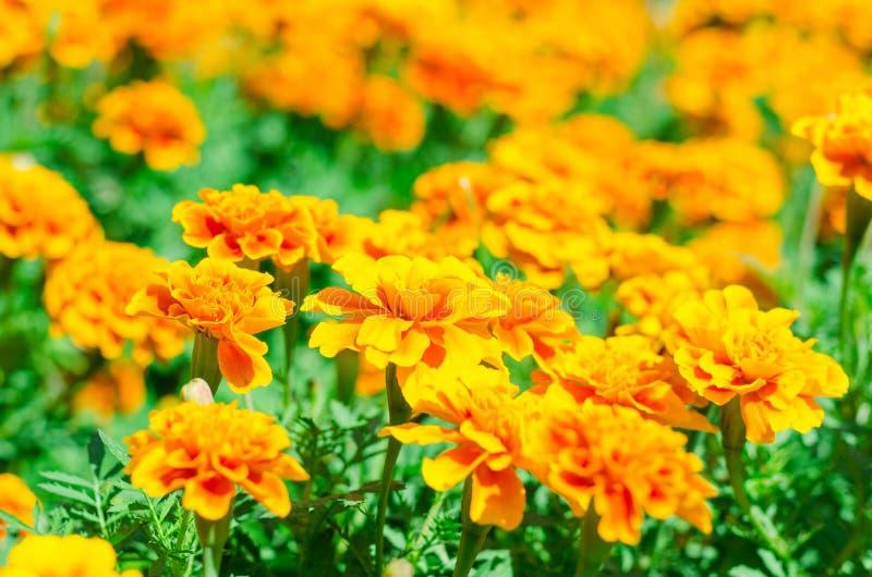 Las maravillas francesas florecen en el jardín del campo imagen de archivo libre de regalías