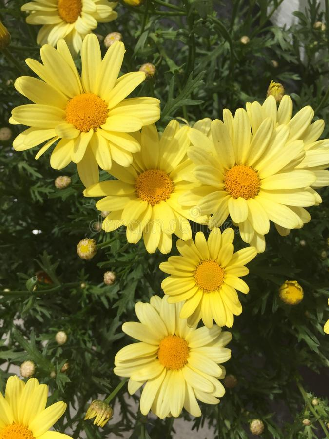 Las margaritas amarillas de la margarita modelan las flores del oro de la maravilla del ramo imagen de archivo