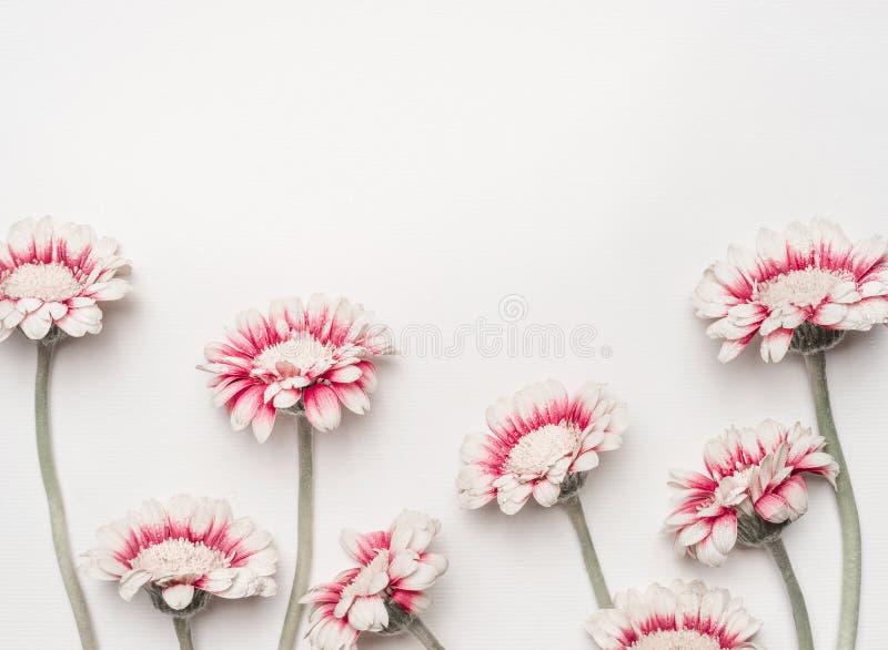 Las margaritas preciosas florecen en el fondo de escritorio blanco, frontera floral, visión superior Disposición creativa por los fotografía de archivo