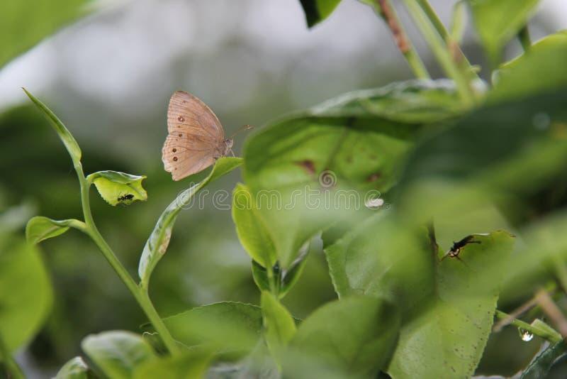 Las mariposas de Brown se encaraman en las hojas de té verdes foto de archivo libre de regalías