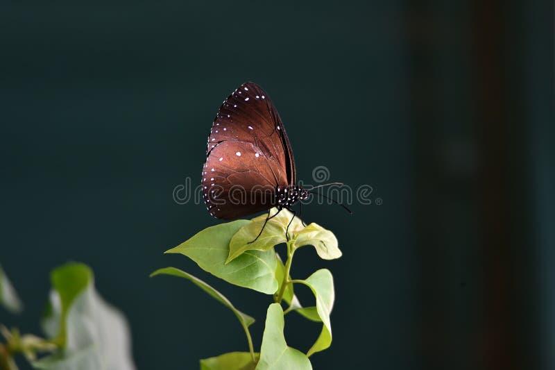 Las mariposas marrones oscuras se encaraman en las hojas verdes en el jardín de flores en el jardín del safari fotos de archivo libres de regalías