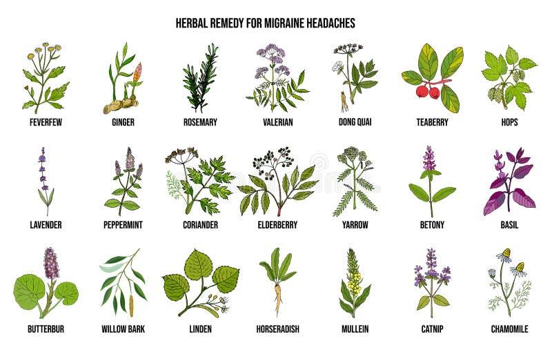 Las mejores hierbas medicinales para el alivio de las jaquecas ilustración del vector