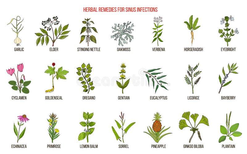 Las mejores hierbas medicinales para tratar la infección del sino stock de ilustración
