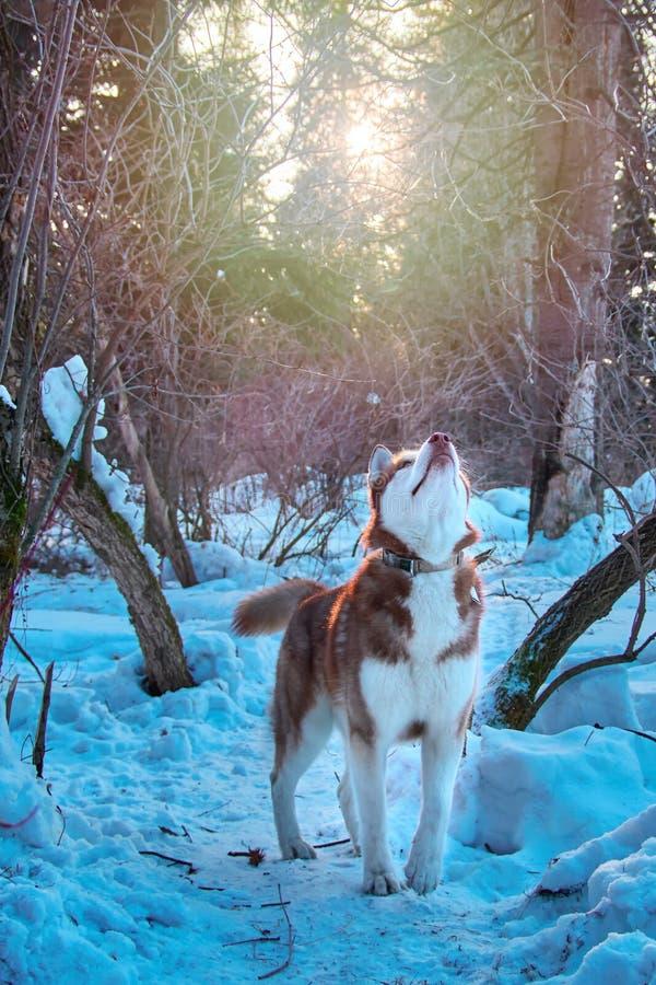Las miradas del perro en la parte superior, levantan para arriba la cabeza Caza del husky siberiano en el bosque del invierno, mi foto de archivo