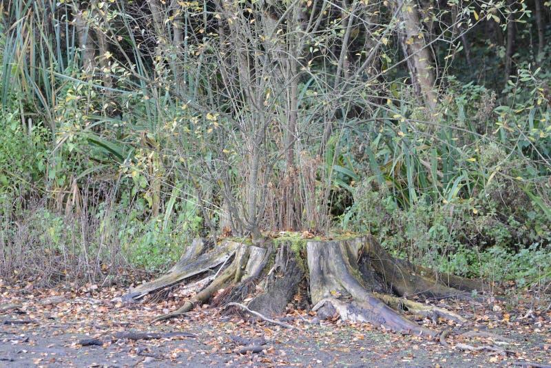 Las miradas grandes de este tocón de árbol muy absolutamente pero de él están creciendo nuevas ramas imágenes de archivo libres de regalías