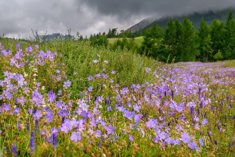 Las montañas del prado del geranio de las flores se inclinan nublado imágenes de archivo libres de regalías