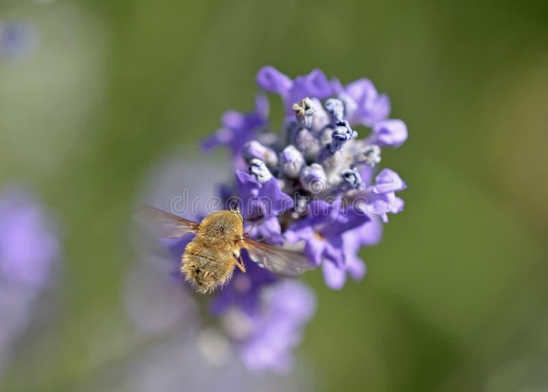 Las moscas de las abejas de Bombylio, Grecia imagen de archivo libre de regalías