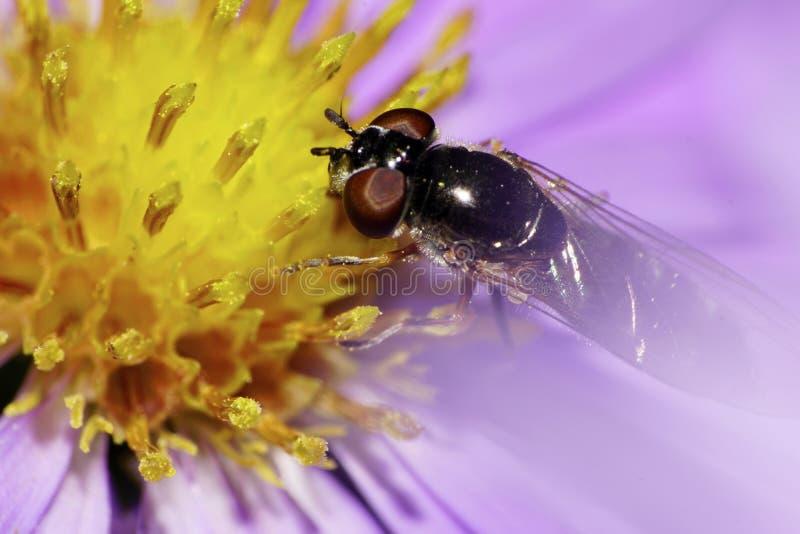 Las moscas rayadas amarillo-negras caucásicas macras de la vista delantera son hoverf foto de archivo