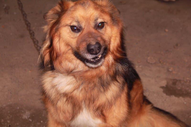 Las muecas grandes, rojas del perro fotos de archivo libres de regalías