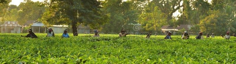 Las mujeres cogen las hojas del té a mano en el jardín de té en Darjeeling, uno del mejor té de calidad del mundo, la India fotos de archivo