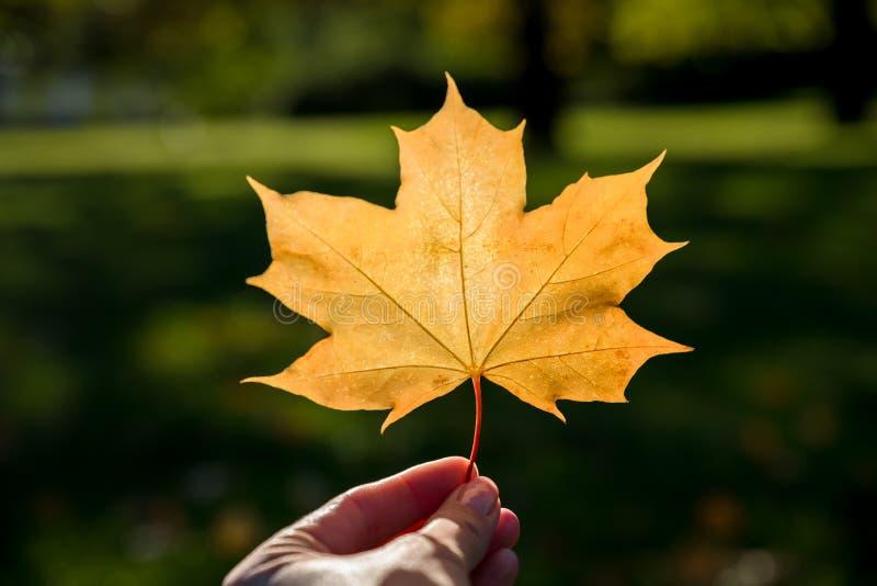 Las mujeres sostienen la hoja de arce del amarillo del otoño rayos de sol en fondo borroso parque del utumn Colecci?n del oto?o D imagen de archivo libre de regalías