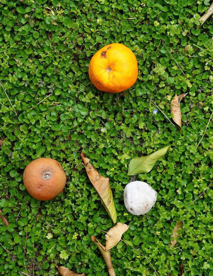 Las naranjas que caen de la rama se están descomponiendo en la tierra foto de archivo libre de regalías
