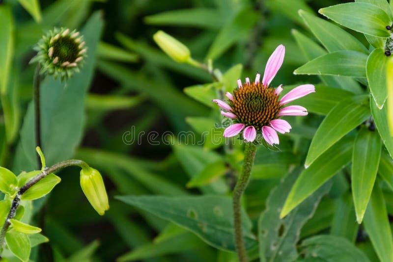 Las nuevas floraciones del coneflower están abriendo otra vez imagenes de archivo