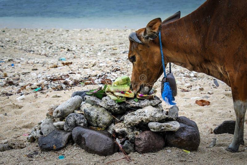 Las ofrendas hindúes del Balinese llamaron a Canang comido por una vaca fotos de archivo libres de regalías