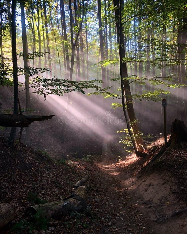Las okrywający w sunbeams obraz royalty free