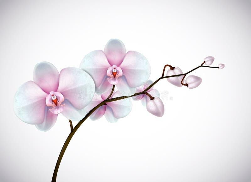 Las orquídeas blancas y rosadas viejas de tres días hermosas florecen en rama stock de ilustración