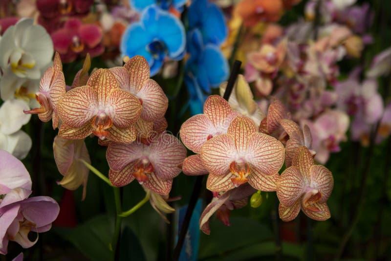Las orquídeas de polilla ramificaron las inflorescencias fotos de archivo