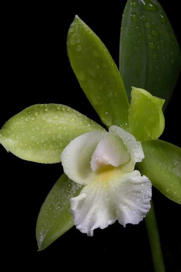 Las orquídeas florecen (el SP de Cattleya) imagenes de archivo