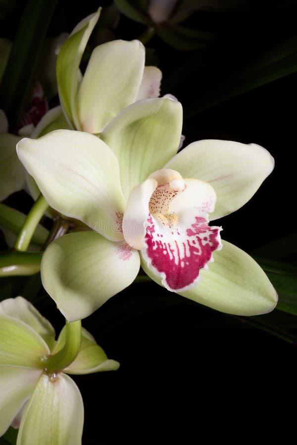 Las orquídeas florecen (el SP del Cymbidium) imágenes de archivo libres de regalías