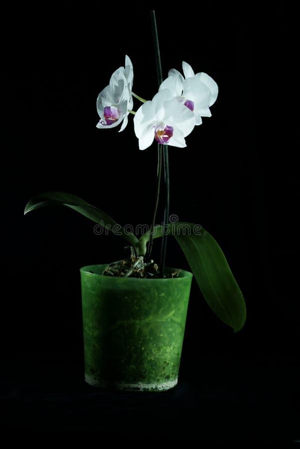 Las orquídeas hermosas se destacan en un fondo oscuro, flores florecieron, las orquídeas florecieron, Orchidaceae, verde, negro,  imagen de archivo libre de regalías