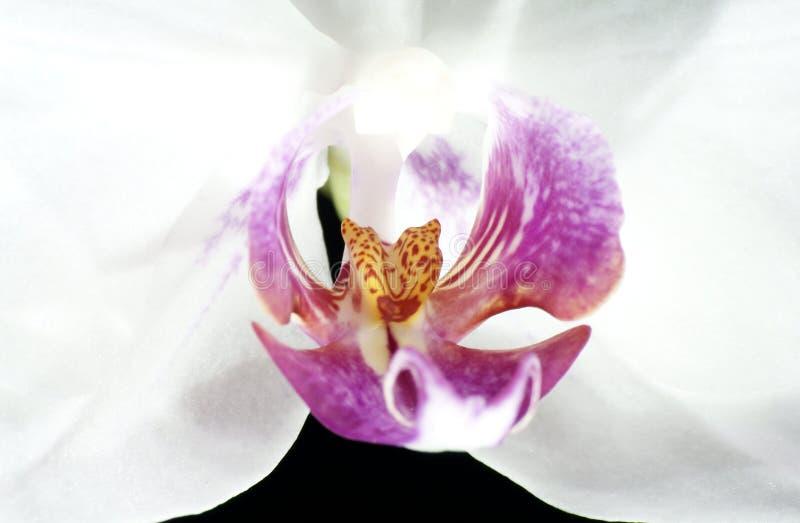 Las orquídeas hermosas se destacan en un fondo oscuro, flores florecieron, las orquídeas florecieron, Orchidaceae, verde, negro,  foto de archivo