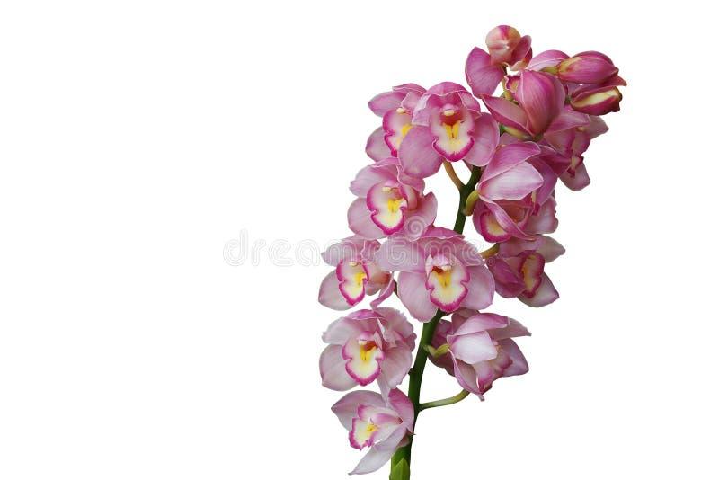 Las orquídeas rosadas del cymbidium plantan la flor tropical aislada en b blanco imagen de archivo