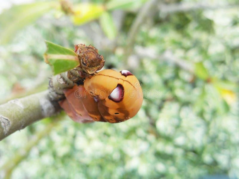 Las orugas anaranjadas imagen de archivo libre de regalías