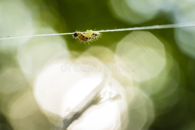 Las orugas de las larvas del par?sito de las polillas de la familia o del armi?o de Yponomeutidae, formaron las web comunales alr fotografía de archivo libre de regalías